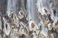 Dried cod stockfish in Loftofen Norway for export to Italy Royalty Free Stock Images