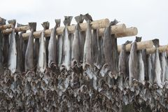 Dried cod stockfish in Loftofen Norway for export to Italy Stock Image