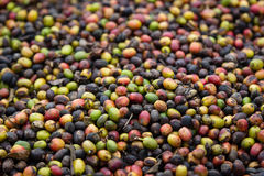 Almost dried coffee berry Stock Photo