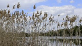 Dried common reed plants or water reeds in winter, the grass-like plants of wetlands and growing in the estuary of the. River stock video footage