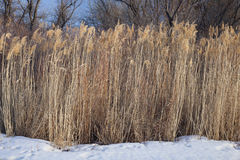 Dried common reed on riverside in winter Stock Photos