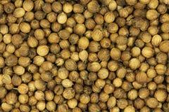 Dried coriander corn  texture. Dried coriander corn closeup texture Royalty Free Stock Photo