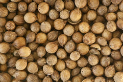 Dried coriander seeds close up Stock Image