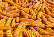The Dried corn Stock Photo