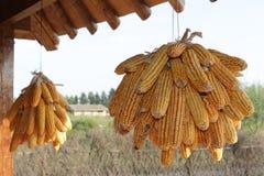 Dried corn Stock Image