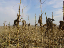 Dried Corn. Corn royalty free stock photography