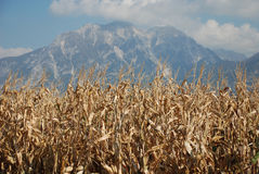 Dried Corn Against Mountain Stock Photography