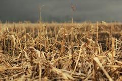 Dried corn against thunder sky Royalty Free Stock Photos