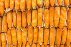 Dried corn. The Dried corn for animal Royalty Free Stock Images