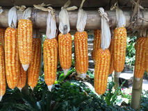 Dried corn Stock Images