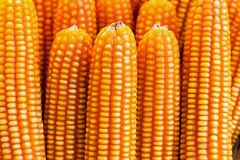 Dried corn background Royalty Free Stock Photography