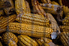 Dried Corn background. Feed animal Stock Photos