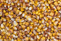 Dried corn Stock Image