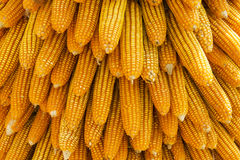 Dried corn background and texture Stock Photos
