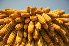 Dried corn background and texture Stock Images
