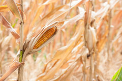 Dried corn with blur background Royalty Free Stock Photography