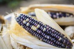 Dried corn for breeding, Thai corn. Black corn stock images