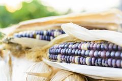 Dried corn for breeding, Thai corn Stock Photos