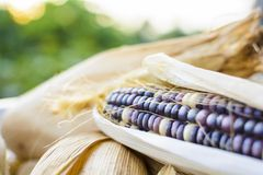 Dried corn for breeding, Thai corn Stock Photography