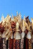 Dried corn bunch Royalty Free Stock Photos