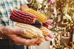 Dried corn cob of different colors in mexican hands in mexico. Maiz de colores royalty free stock image