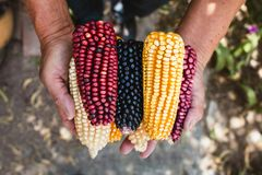 Dried corn cob of different colors in mexican hands in mexico. Maiz de colores royalty free stock photography