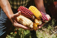 Dried corn cob of different colors in mexican hands in mexico. Maiz de colores royalty free stock photos