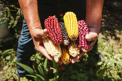 Dried corn cob of different colors in mexican hands in mexico. Maiz de colores royalty free stock photo