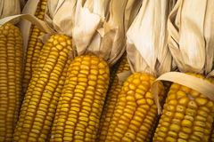 Dried corn cobs Stock Images