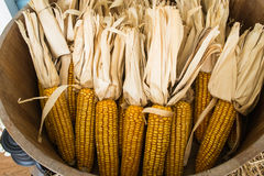 Dried corn cobs Royalty Free Stock Image