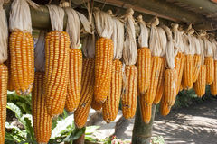 Dried corn on cobs hung on the beam Royalty Free Stock Photos