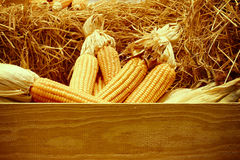 Dried corn on cobs on the straw against a wooden wall Stock Images