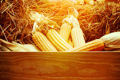 Dried corn on cobs on the straw against a wooden wall, Royalty Free Stock Image