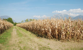 Dried Corn Field Royalty Free Stock Images