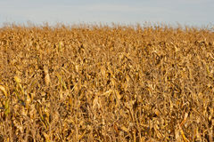 Dried corn field background Stock Photography