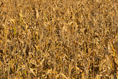 Dried corn field background Royalty Free Stock Images