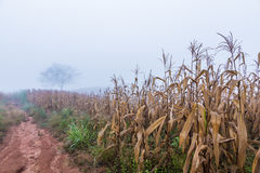 Dried corn field with distant lone tree in foggy morning. Dried corn field along dirt pathway with distant lone tree in foggy morning Royalty Free Stock Photography