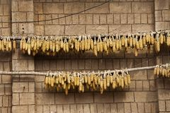 Dried corn hang on brick wall Royalty Free Stock Photos