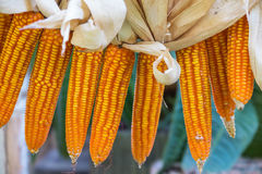 Dried corn hang over Stock Photo