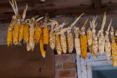 Dried corn. Royalty Free Stock Photo