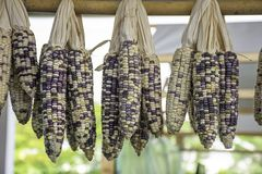Dried corn hanging on bamboo for the seeds to cultivate.  stock images