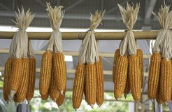 Dried corn hanging on bamboo for the seeds to cultivate.  royalty free stock photo
