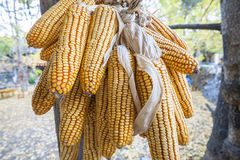 Dried corn. Hanging dried corn in outside Royalty Free Stock Images