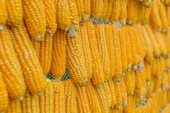 Dried corn hanging Royalty Free Stock Images