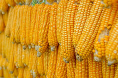 Dried corn hanging Stock Photos