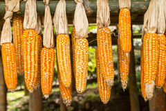 Dried corn hanging on wooden rail Royalty Free Stock Photography