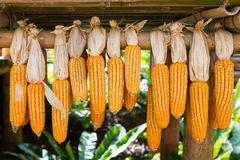 Dried corn hanging on wooden rail. Royalty Free Stock Photo