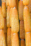 Dried corn in harvest time Royalty Free Stock Photos
