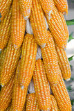 Dried corn in harvest time Royalty Free Stock Images