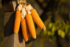 Dried corn hung Stock Photos